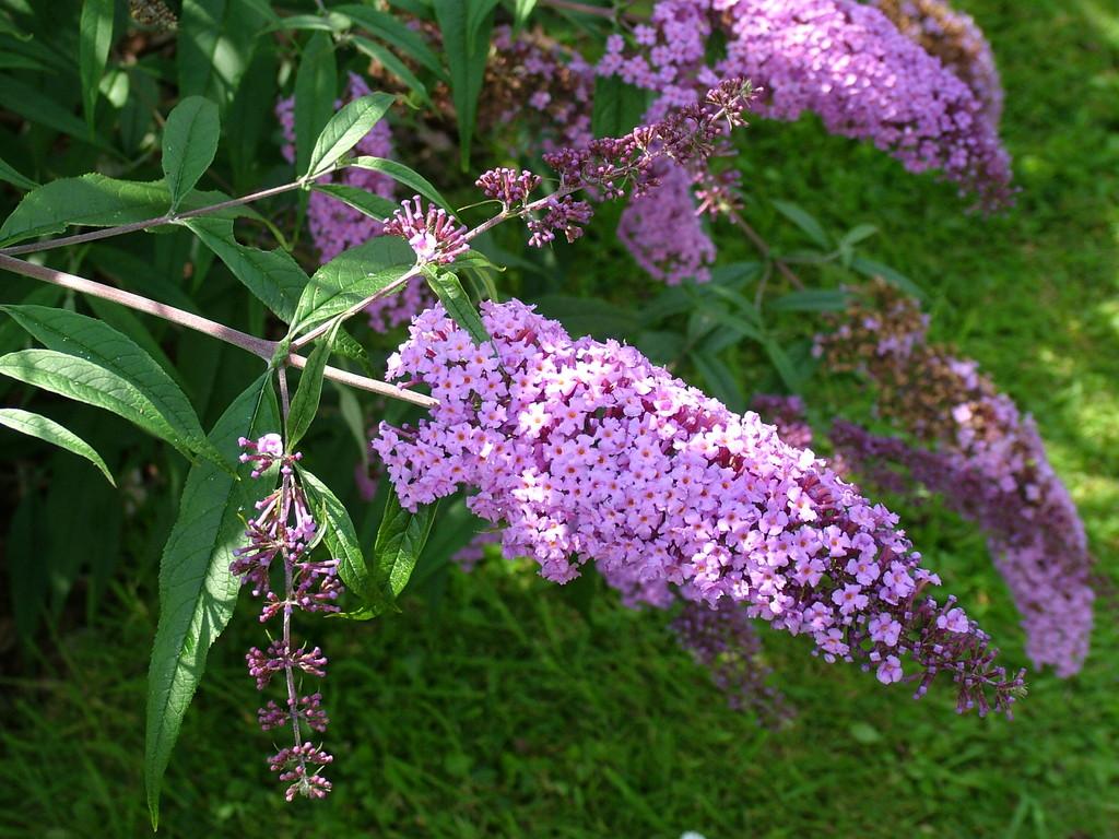 butterfly bush 'Gonglepod'