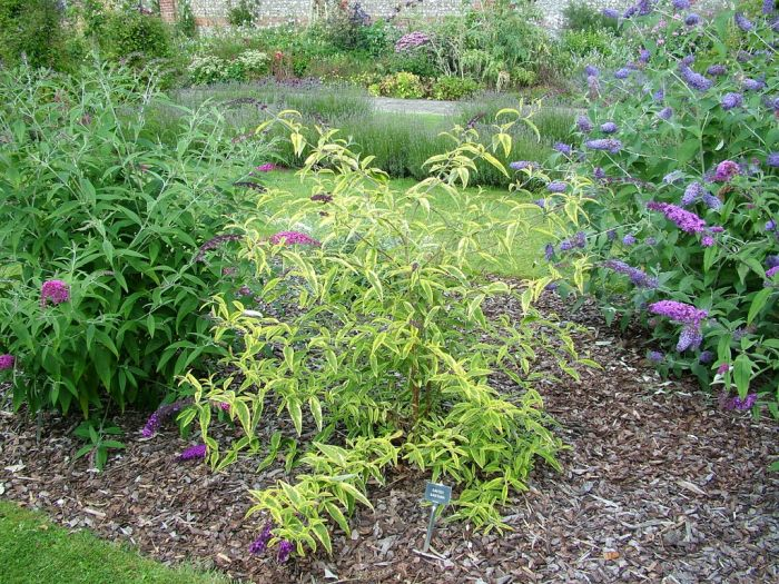 Variegated Butterfly Bush