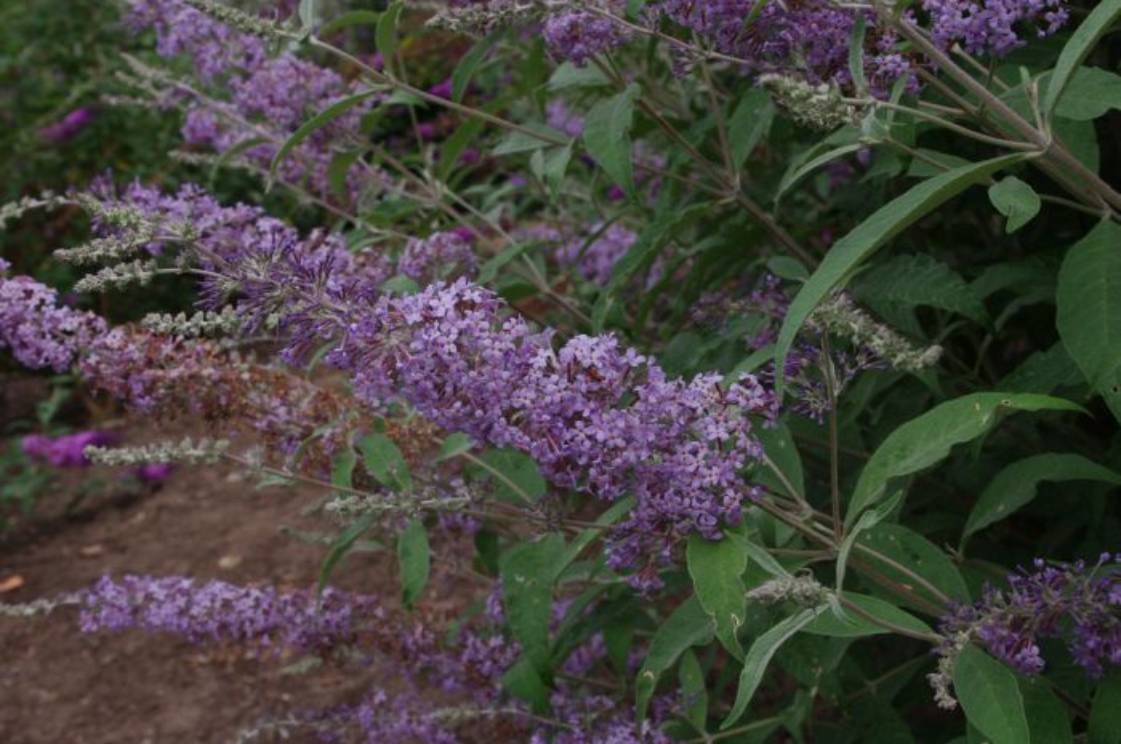 butterfly bush 'West Hill'
