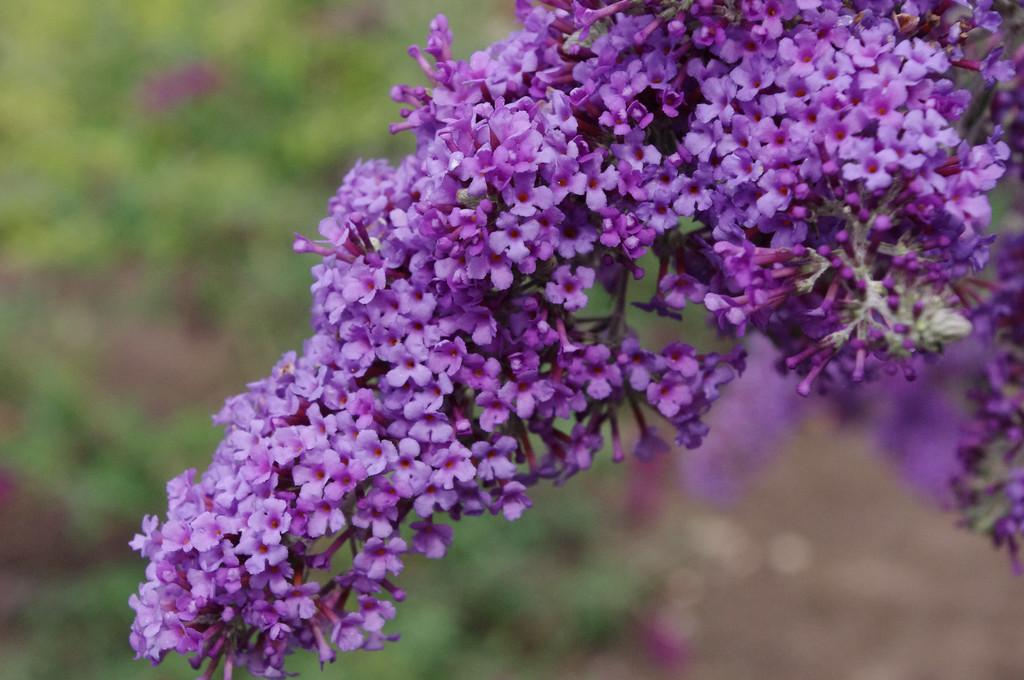 butterfly bush 'Panache'