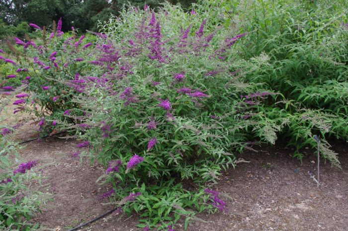 butterfly bush [Camberwell Beauty]