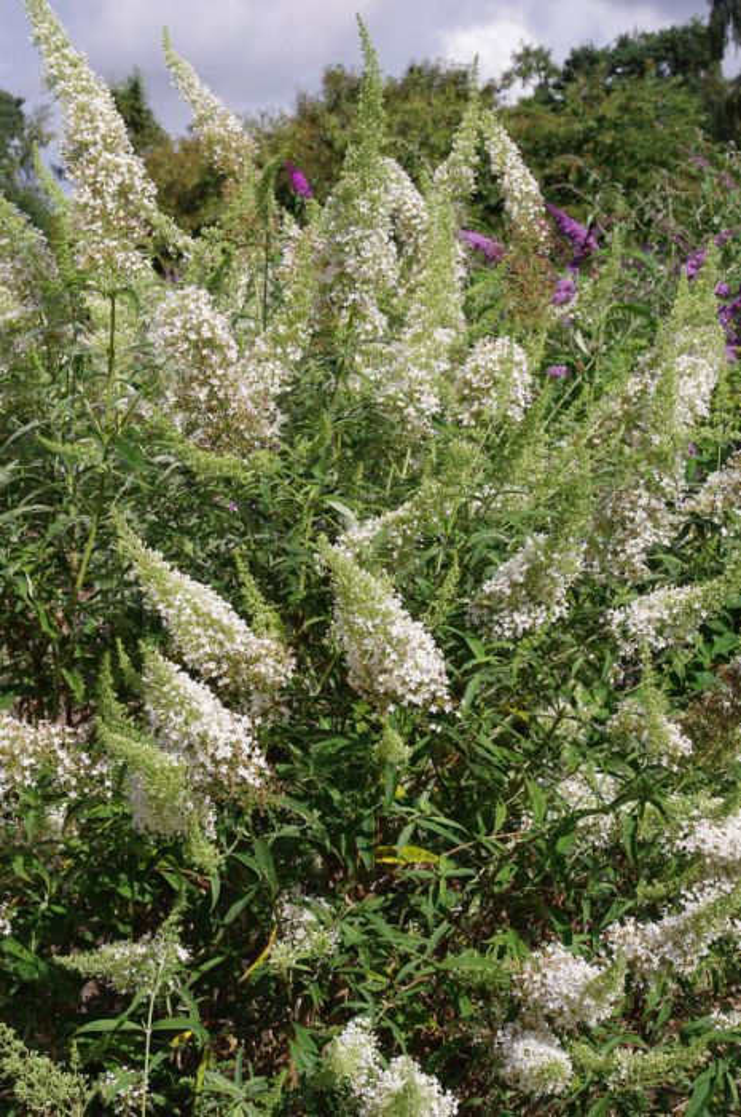 butterfly bush [Nanho White]
