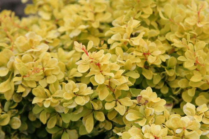 Japanese barberry [Bonanza Gold]
