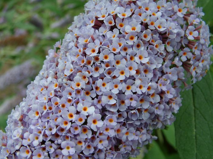 butterfly bush 'Pixie Blue'