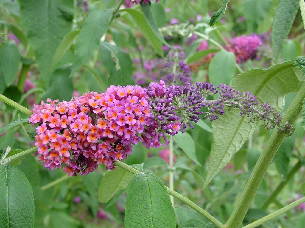 buddleja x weyeriana 39 bicolor 39 butterfly bush 39 bicolor 39 rhs gardening. Black Bedroom Furniture Sets. Home Design Ideas