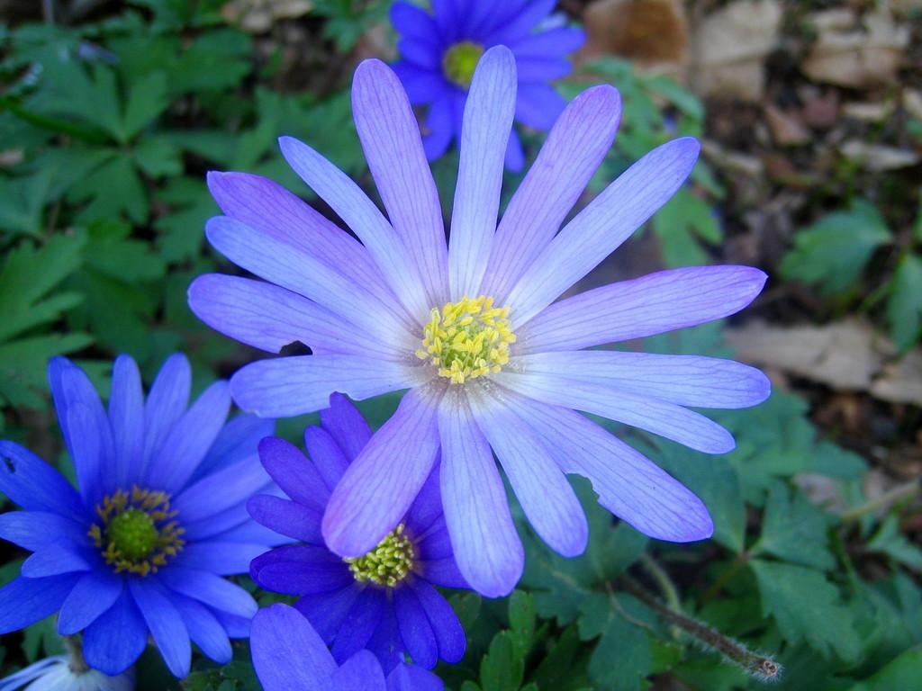 blue-flowered winter windflower