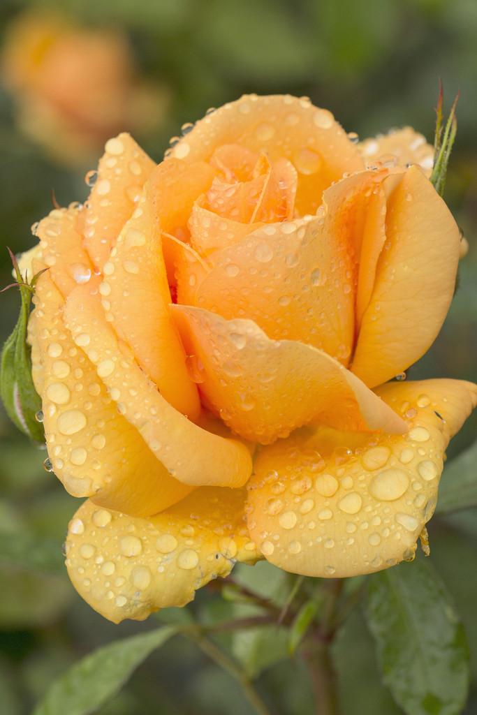 rose [Golden Beauty]