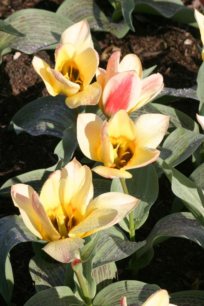 tulip 'Zampa'