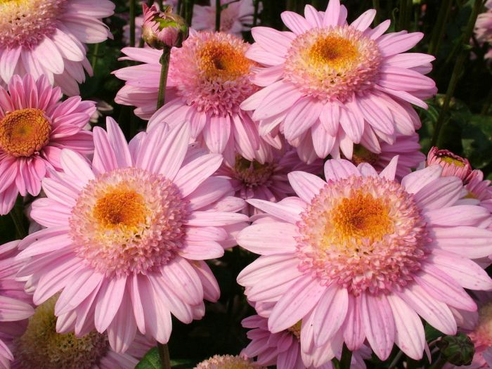 chrysanthemum 'Lucy'
