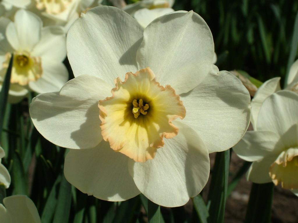 daffodil 'Punchline'