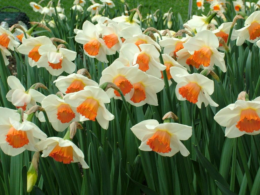 daffodil 'Quasar'