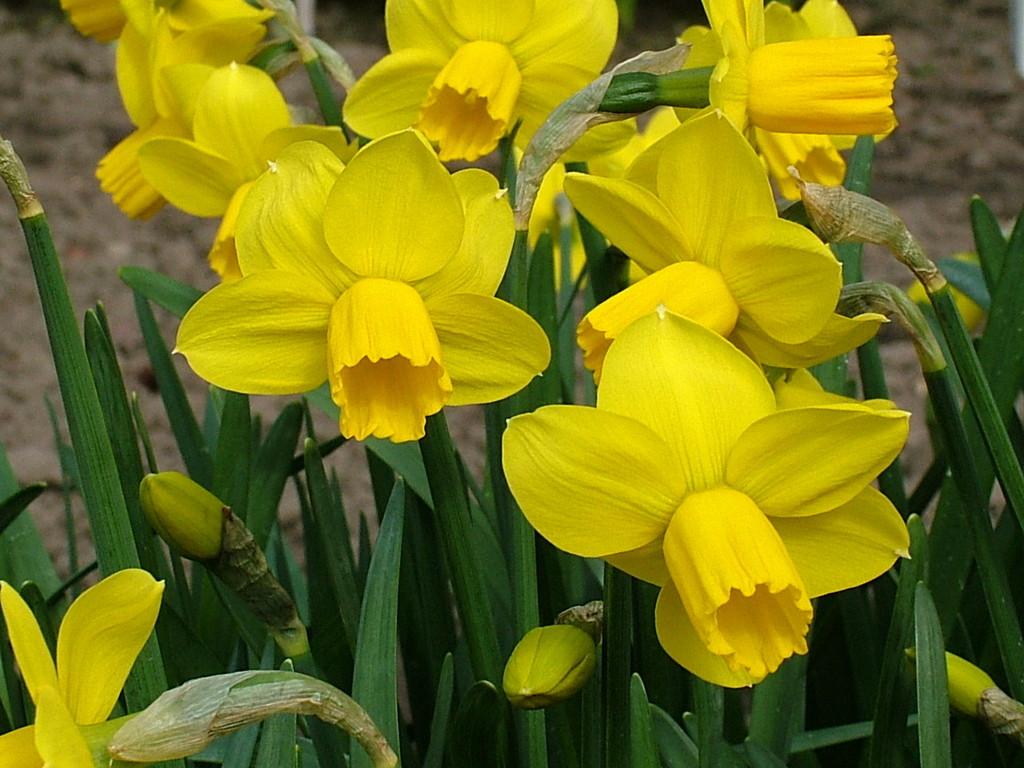 daffodil 'Skilliwidden'