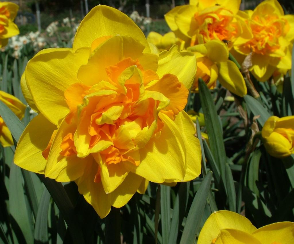 daffodil 'Le Torch'