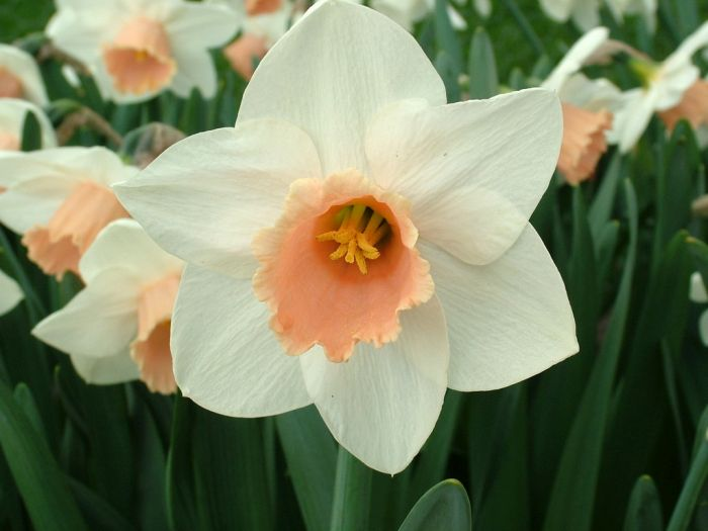 daffodil 'Penkivel'