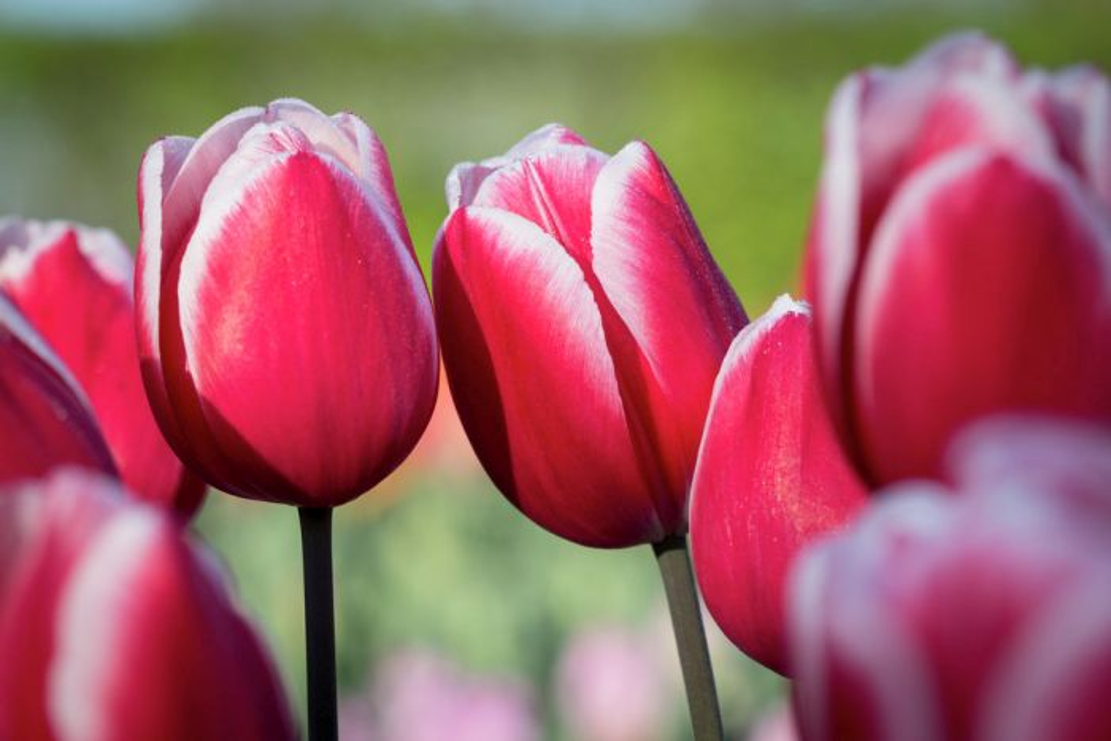 tulip 'Timeless'