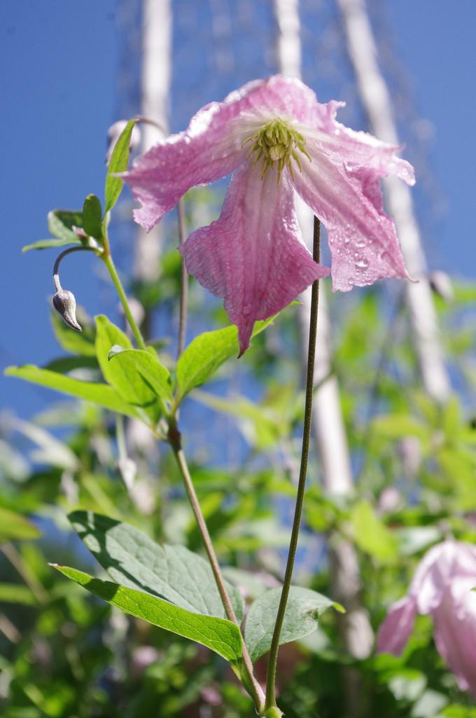 clematis 'Hågelby Pink'