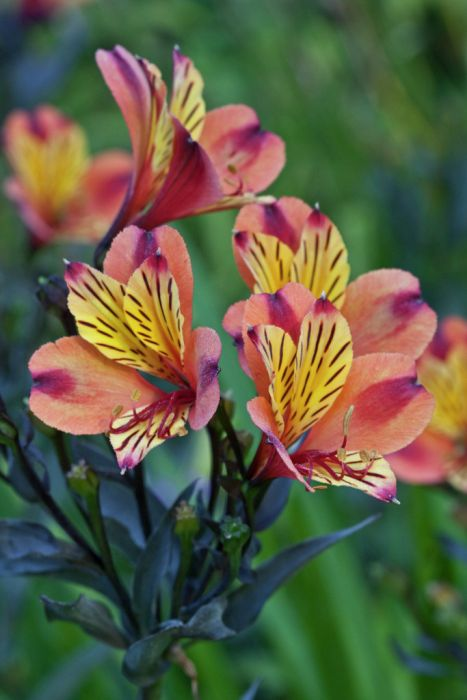 Alstroemeria Indian Summer Tesronto Pbr Summer
