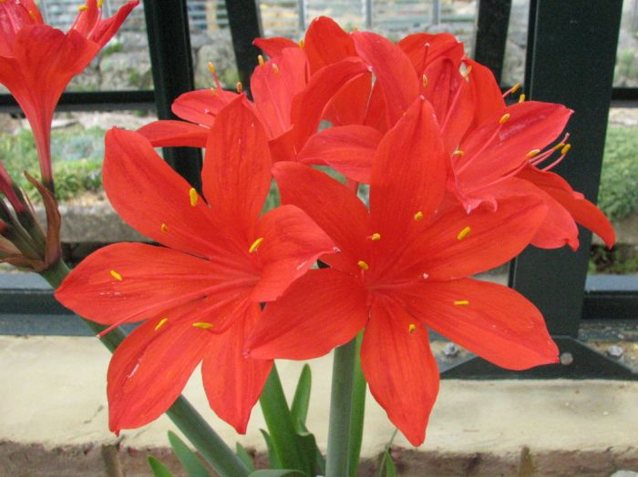 Scarborough lily