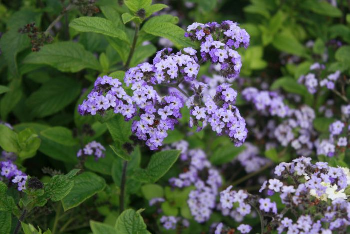 heliotrope 'Chatsworth'
