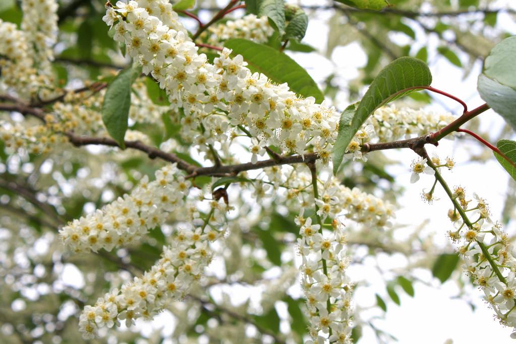 bird cherry 'Watereri'