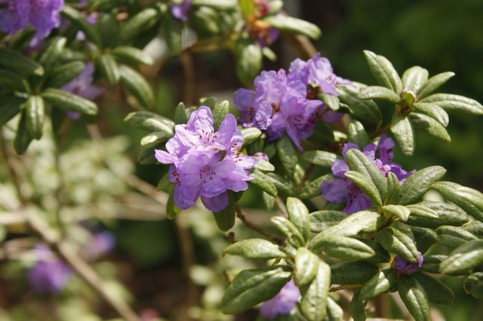 rhododendron 'Haba Shan'