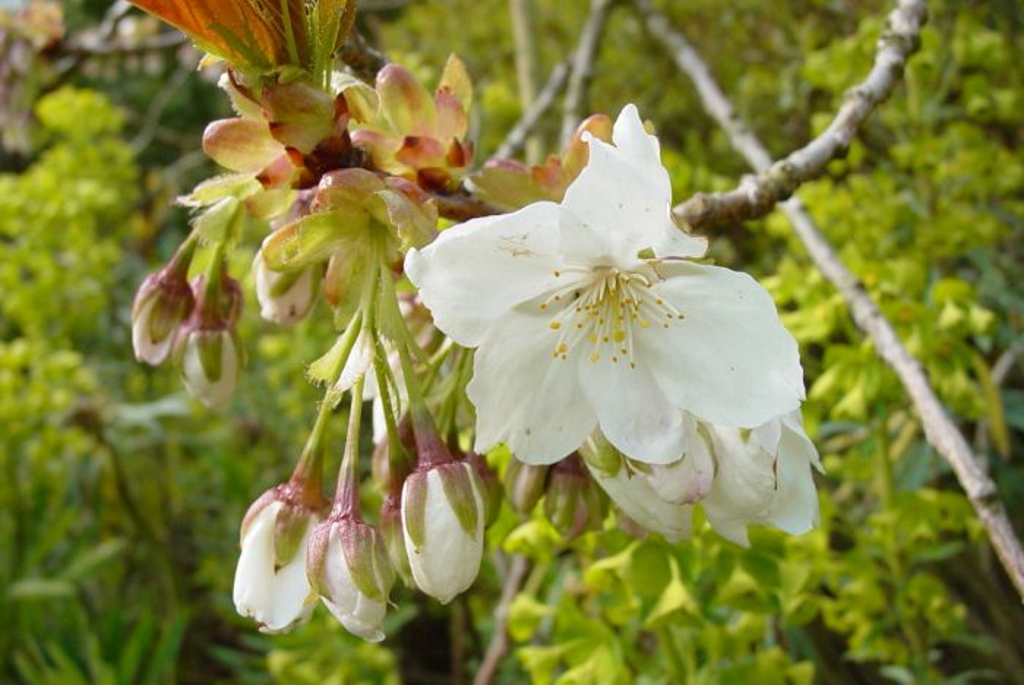 great white cherry
