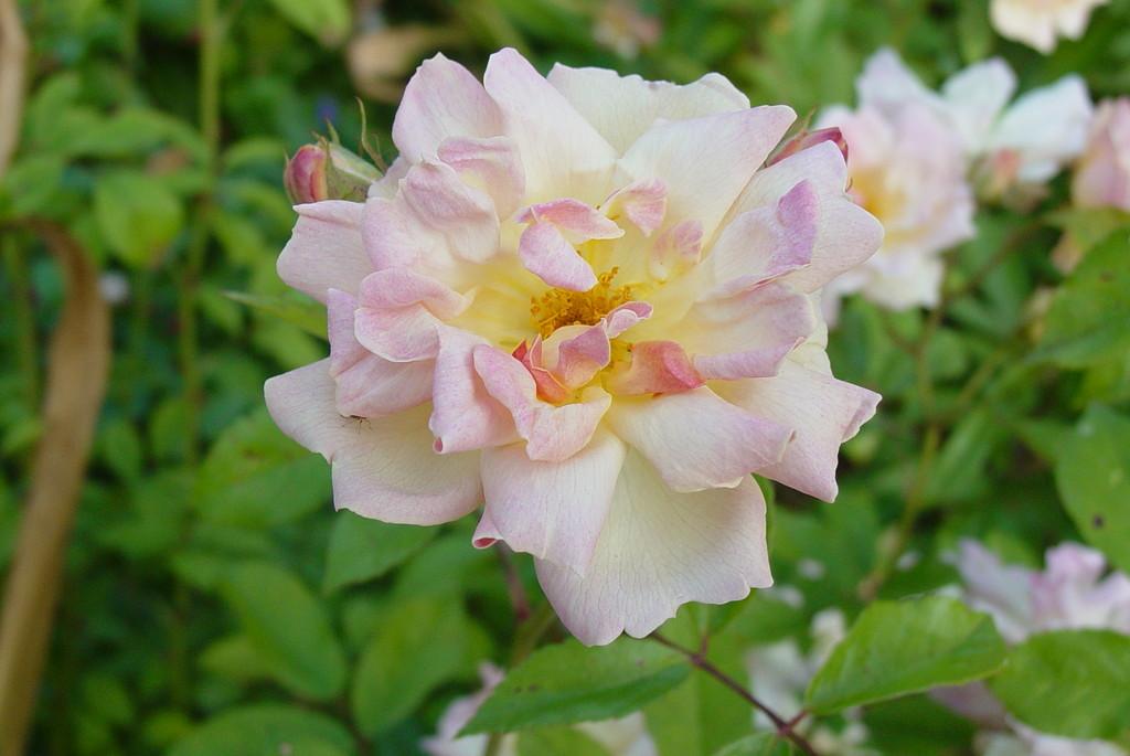 rose 'Phyllis Bide'