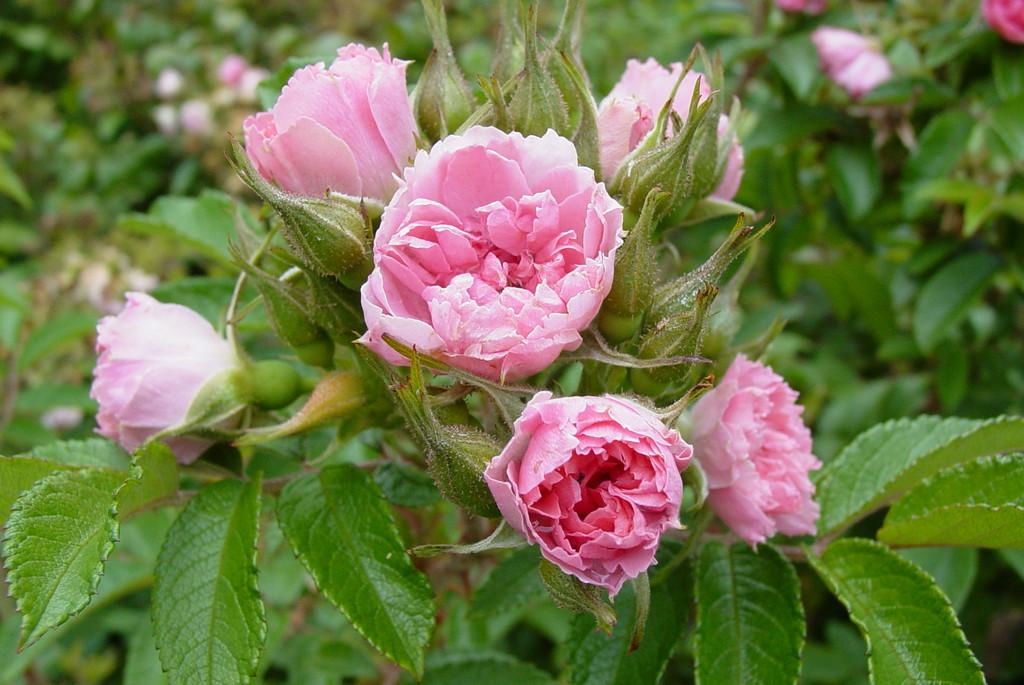 rose 'Pink Grootendorst'