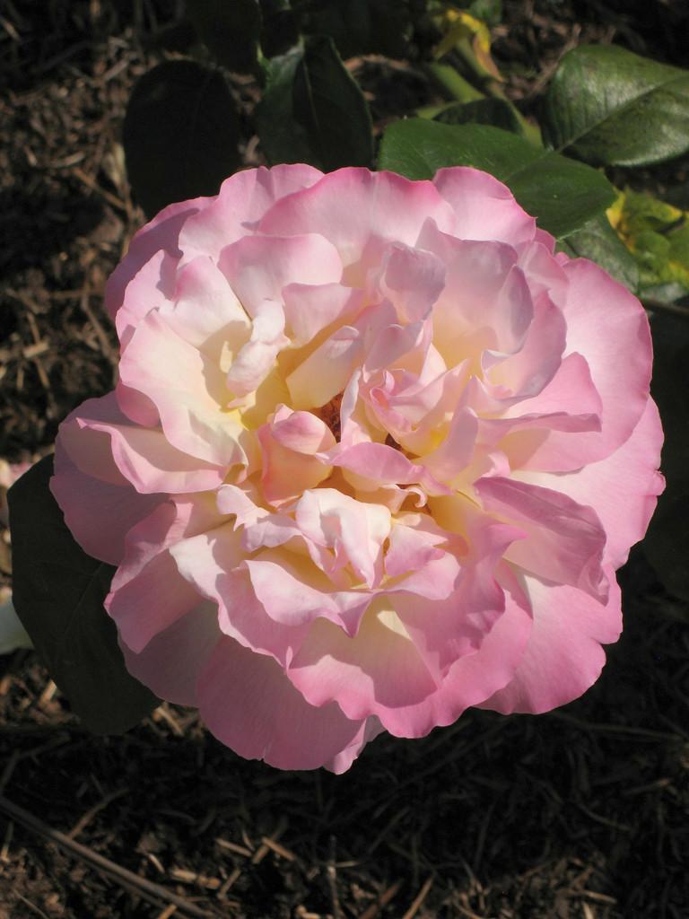 rose [Peace]