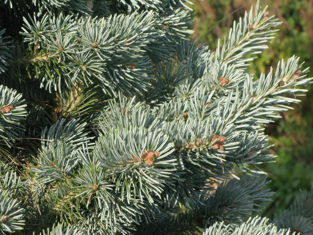 compact corkbark fir