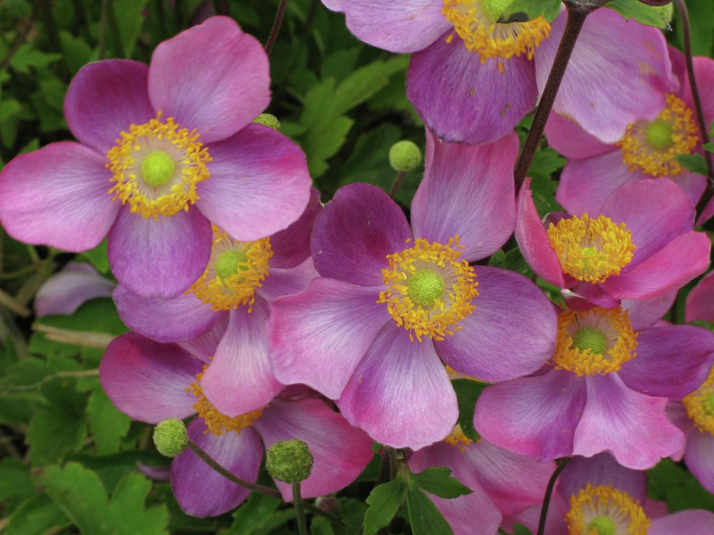 Japanese anemone 'Pretty Lady Susan'