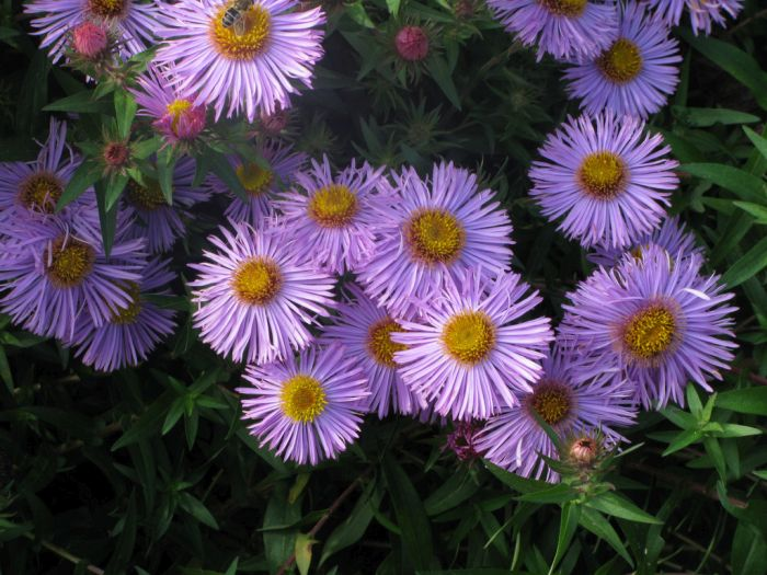 New England aster 'Mrs S.T. Wright'
