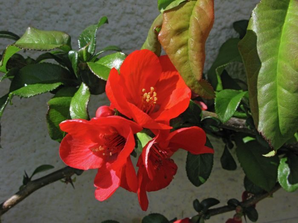 Japanese quince 'Orange Beauty'