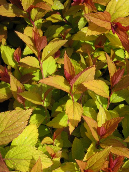Japanese spirea Magic Carpet