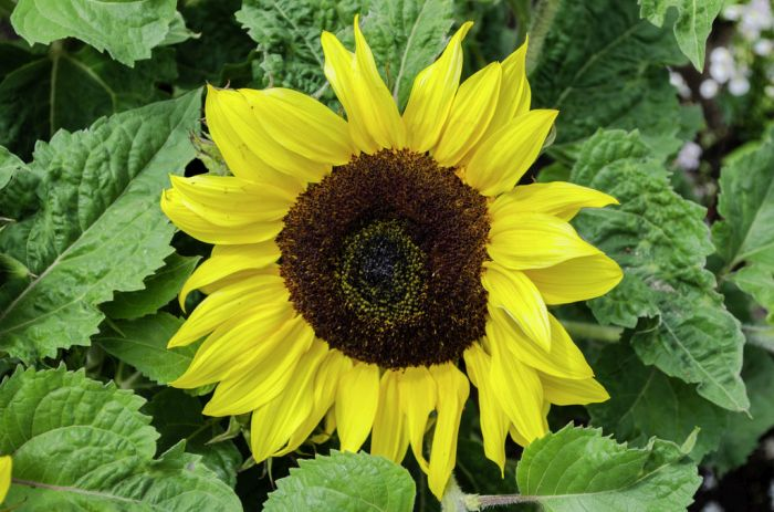 sunflower 'Ballad'