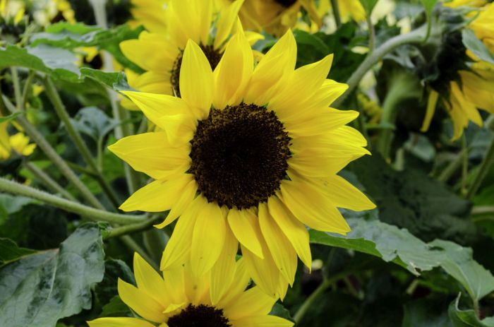 sunflower 'Sunsation Yellow'