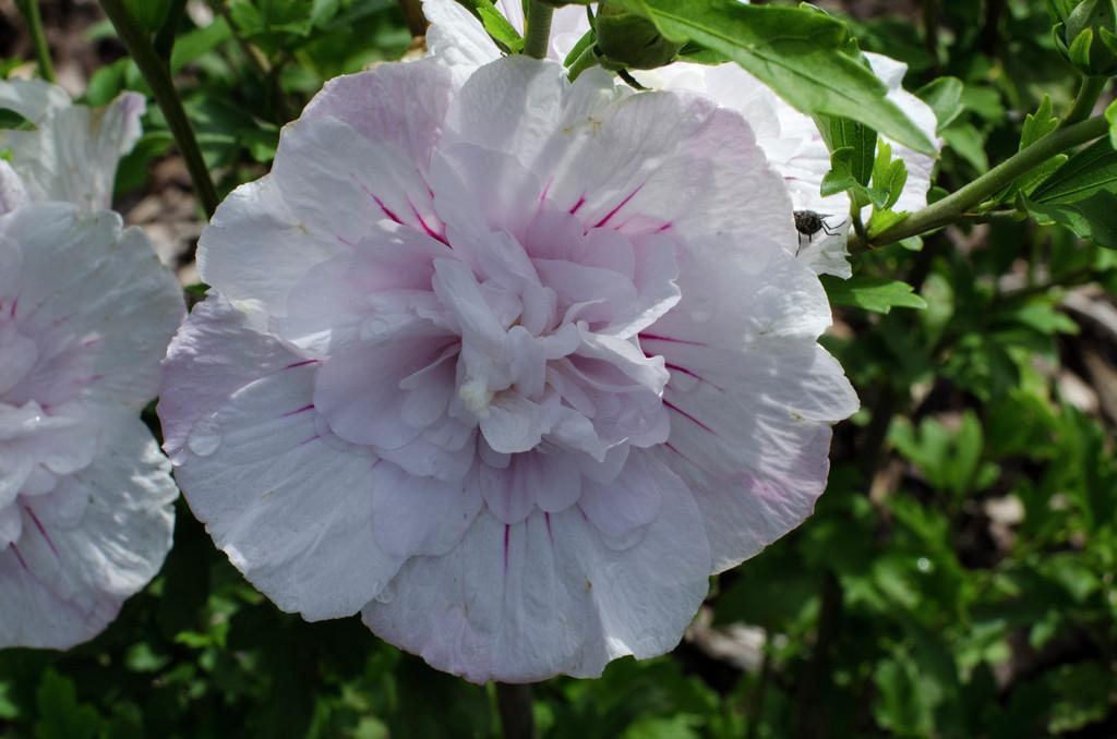 rose of Sharon [China Chiffon]