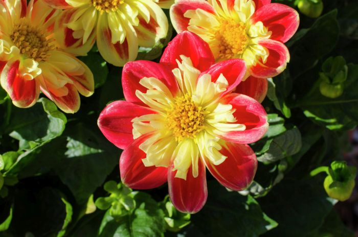 dahlia 'Starsister Red-yellow'