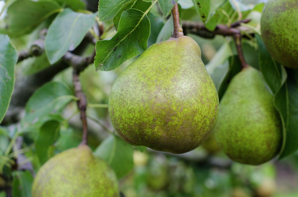 pear 'Beurré Superfin'