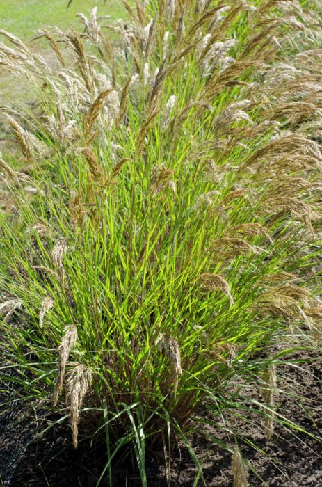 rough feather grass 'Lemperg'