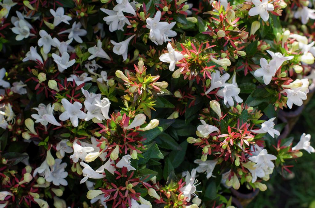 Abelia X Grandiflora Prostrate White Abelia Prostrate White