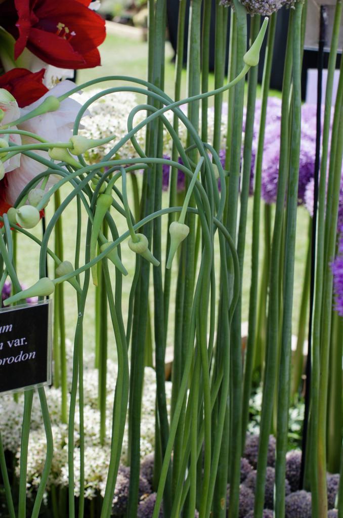 <i>Allium sativum</i> var. <i>ophioscorodon</i>