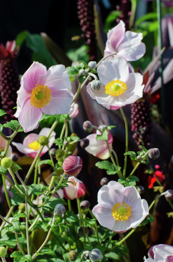 Chinese anemone