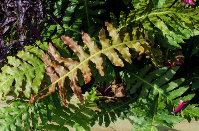 dwarf Brazilian tree fern