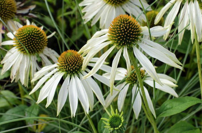 purple coneflower 'White Swan'