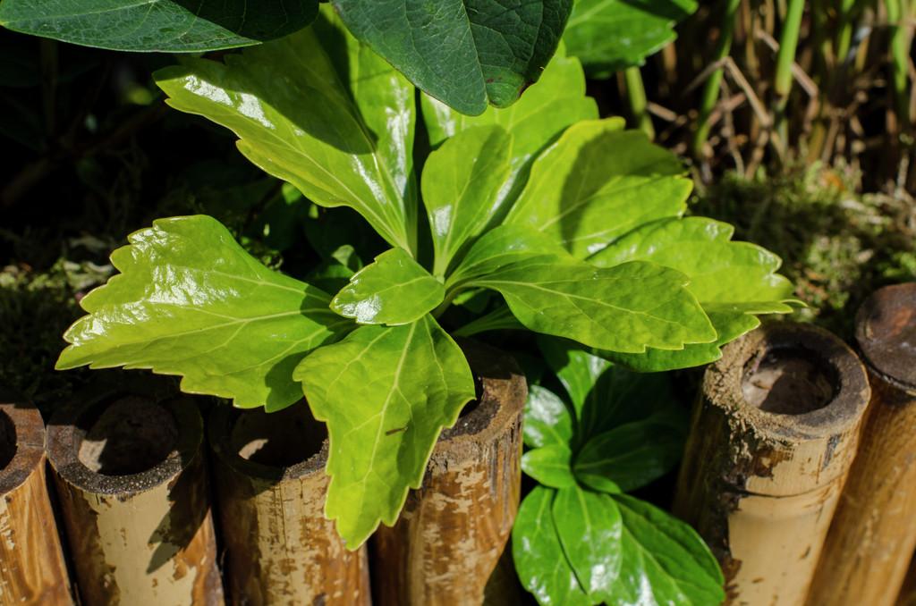 Pachysandra terminalis 'Green Sheen' | Japanese spurge ...