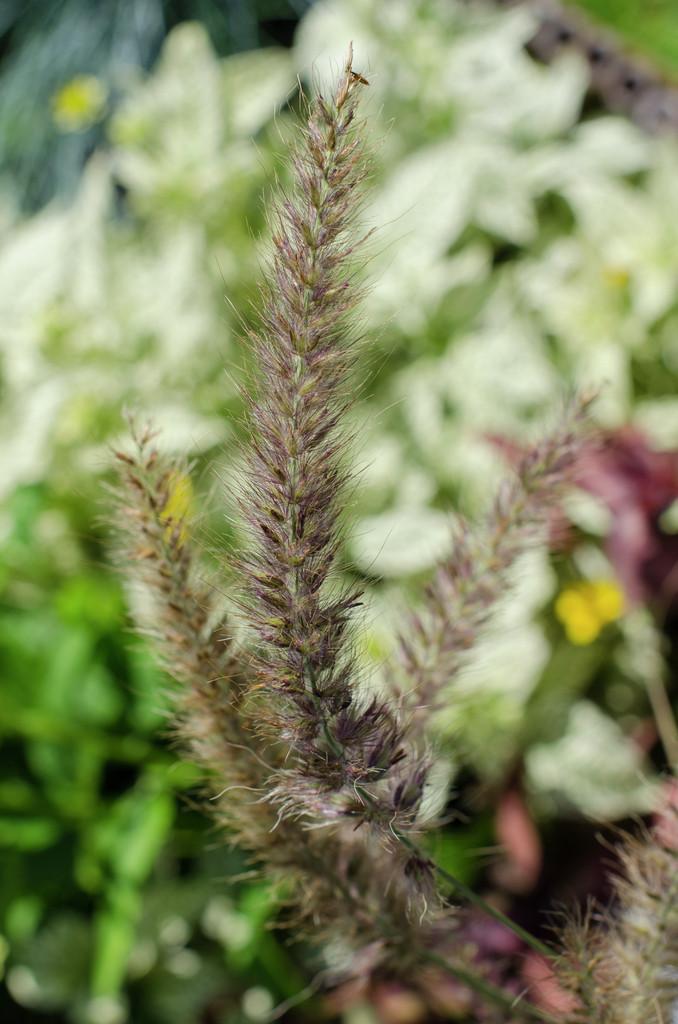 oriental fountain grass 'Karley Rose'