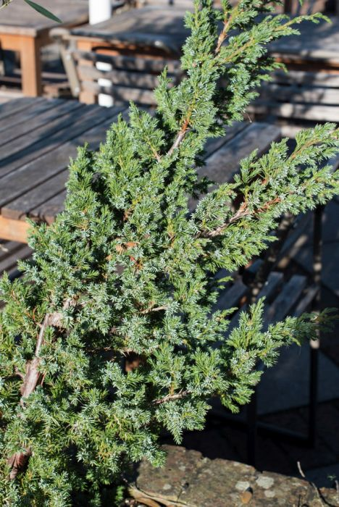 Chinese juniper 'Blue Alps'