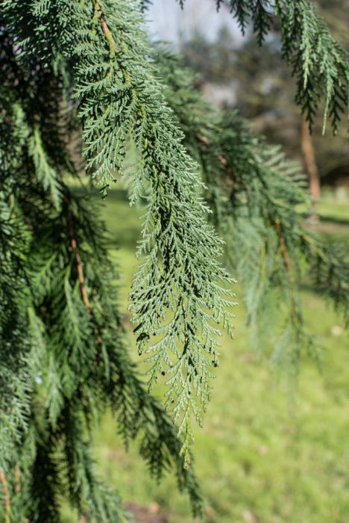 Lawson's cypress 'Dik's Weeping'
