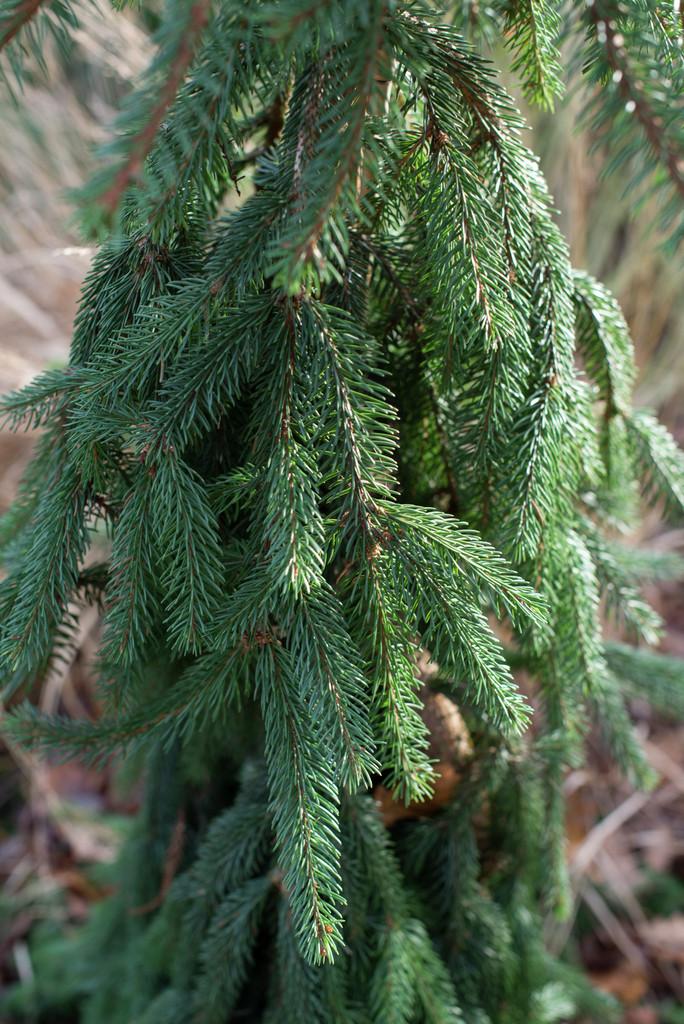 Norway spruce 'Inversa'